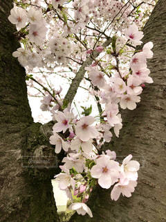 花,ピンク,白,草木,桜の花,さくら,ブロッサム