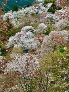 山桜の写真・画像素材[3189854]