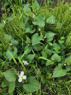 花,屋外,緑,草,草木,ガーデン,薬草