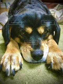横になってカメラを見ている犬の写真・画像素材[3227107]