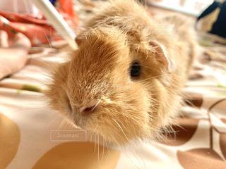 動物,屋内,かわいい,ペット,モルモット,アビシニアン,ペットは家族,どアップ,齧歯動物