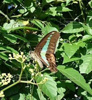 緑の葉にとまる蝶の写真・画像素材[3192593]