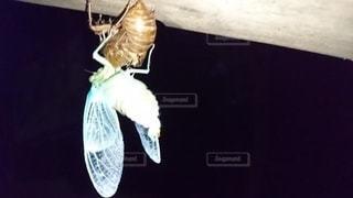初夏に蝉の羽化の写真・画像素材[3193007]