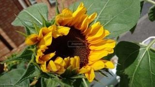 花,ひまわり,風,初夏,明るい,草木