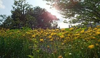 自然,空,花,屋外,黄色,景色,草,樹木,癒し,草木,陽の光,輝く