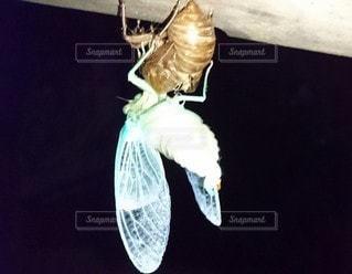 自然,屋外,暗い,暗闇,昆虫,夏休み,初夏,蝉,蝉の羽化