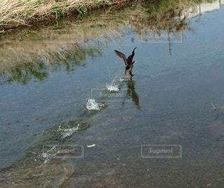川を走る 水鳥❗の写真・画像素材[3196481]
