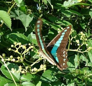 緑の植物にとまる蝶の写真・画像素材[3201605]