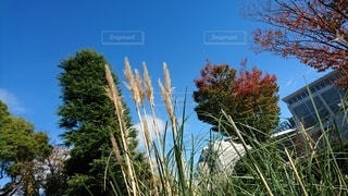 自然,風景,空,秋,屋外,晴天,青い空,日差し,スカイブルー,樹木,大地,快晴,草木,すすき