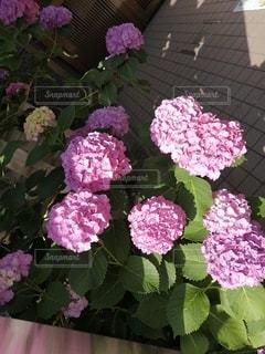 紫陽花の季節の写真・画像素材[3310860]