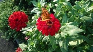 緑の葉の赤い花と蝶の写真・画像素材[3323558]