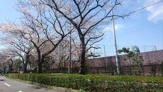 校門前の桜並木の写真・画像素材[3328923]