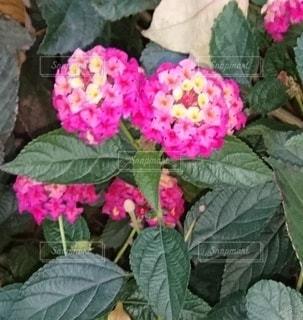 ランタナレインボーローズ ピンクの写真・画像素材[3328952]
