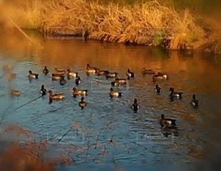 夕陽を浴びる鴨の群れの写真・画像素材[3451101]