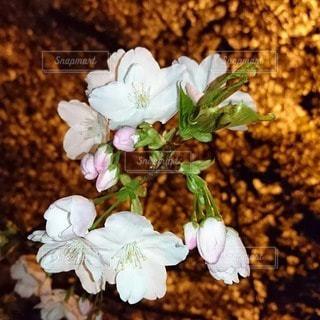 公園の夜桜の写真・画像素材[3574906]