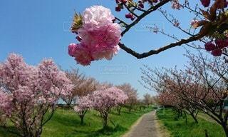 ボンボン桜の写真・画像素材[3582006]