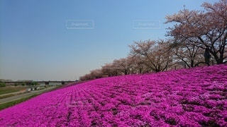荒川の芝桜の写真・画像素材[3598442]