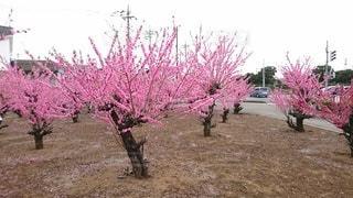 肌寒さの中の梅の木たちの写真・画像素材[3598465]