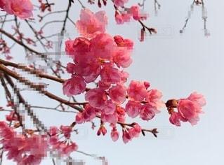 初な桜の写真・画像素材[3598464]