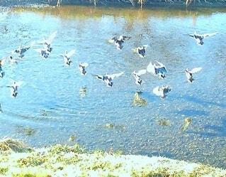 一斉に羽ばたく鴨たちの写真・画像素材[4259140]