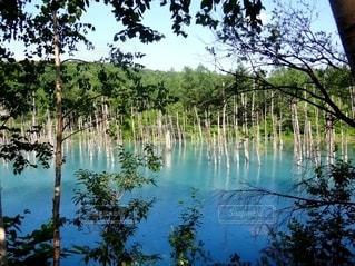 美瑛の青い池の写真・画像素材[3235051]
