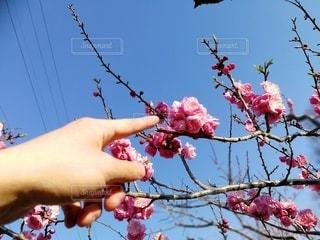 木の枝に咲くピンクの花のグループの写真・画像素材[3240941]