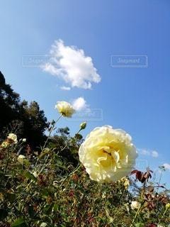 薔薇の写真・画像素材[3240981]