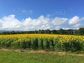 ひまわり畑の写真・画像素材[3244550]