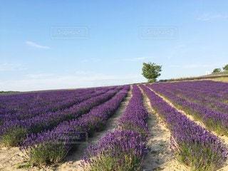 土ラベンダー畑の写真・画像素材[3247441]