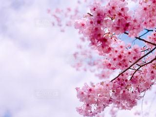 花,春,ピンク,鮮やか,外,新宿御苑,さくら,ライトブルー,ブロッサム
