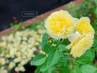 花,屋外,バラ,元気,イングリッシュガーデン,ローズ,イエロー,グリーン,ガーデン