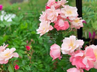花,屋外,ピンク,花びら,鮮やか,可愛い,イングリッシュガーデン,グリーン,神奈川,イキイキ