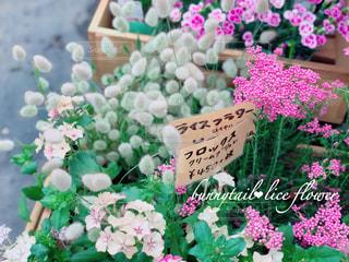 花,屋内,鮮やか,可愛い,グリーン,神奈川,ライスフラワー,バニーテール,イングリッシュガーデン