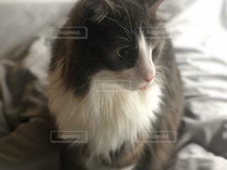 猫,動物,屋内,ふわふわ,座る,お風呂,グレー,ハチワレ,ソックス,お家時間,舌ちょび