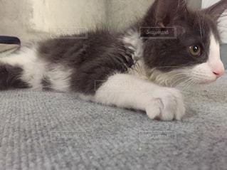 猫,動物,屋内,かわいい,寝転ぶ,床,子猫,グレー,ハチワレ,ソックス,アッシュ,匍匐前進,ネコ科の動物