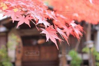 秋,紅葉,樹木,お店,イメージ,カエデ