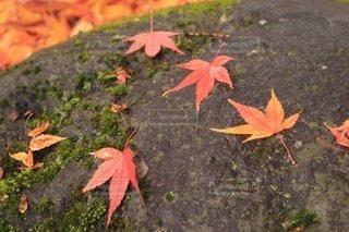 秋,屋外,葉,樹木,苔,カエデ
