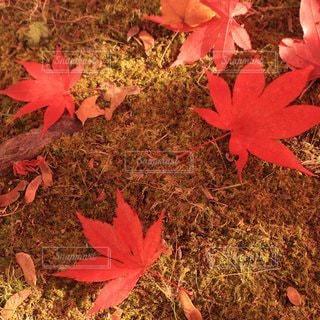 秋,紅葉,屋外,赤,葉,鮮やか,カエデ,イメージ画