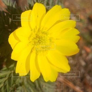 花,屋外,黄色,幸せ,福寿草