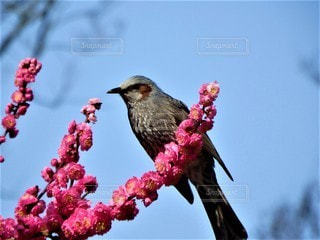 花,春,鳥,梅,ヒヨドリ,鵯