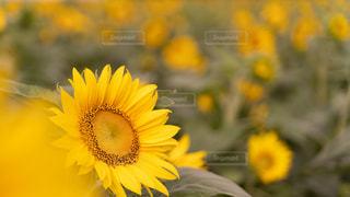 花,花畑,緑,ひまわり,綺麗,黄色,向日葵,美しい,草木,ヒマワリ