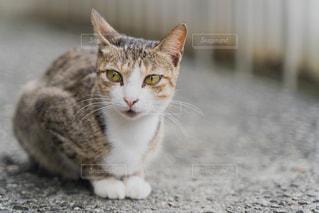 猫,動物,白,かわいい,黒,子猫,座る,グレー,地面,台湾,見つめる,野生,視線,ネコ,ネコ科の動物