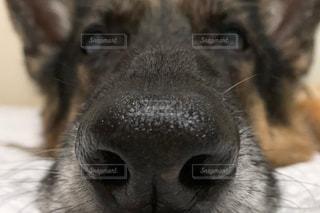 犬,動物,シェパード,鼻