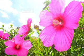 空,花,夏,ピンク,ハイビスカス,鮮やか,元気,可愛い,flower,summer,カラー,草木