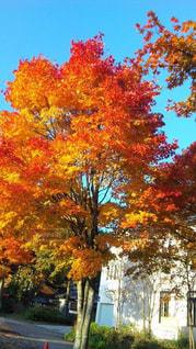 秋,紅葉,屋外,葉,オレンジ,樹木,草木,カエデ