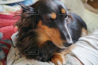 ベッドの上で横になっている茶色と白犬 - No.1004625