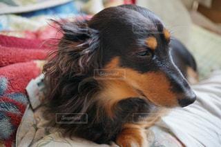 近くにベッドの上で横になっている犬のアップの写真・画像素材[1004627]