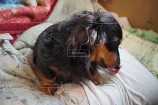 ベッドの上に横たわる犬の写真・画像素材[1004677]