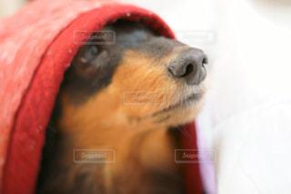 近くに犬のアップの写真・画像素材[1184241]