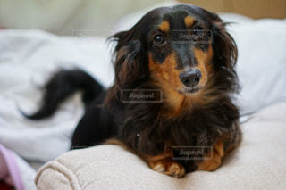 ベッドの上で横になっている茶色と黒犬の写真・画像素材[1184252]